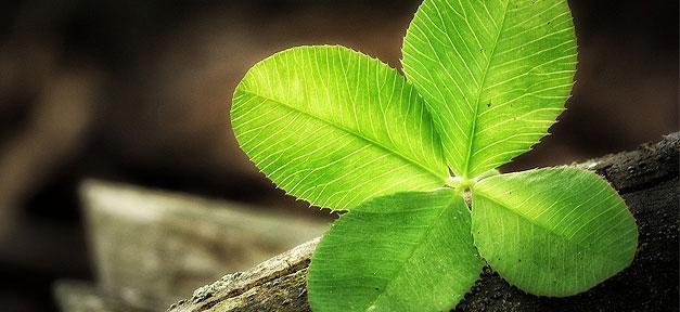 Klee, Kleeblatt, Glück, Wald, Natur, Pflanze