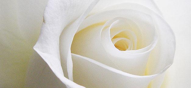 Rose, Blume, Liebe, Weiß, weiße Rose, Danke