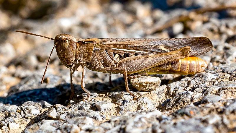 Die Wüstenheuschrecke bedroht die Existenz von Millionen Menschen